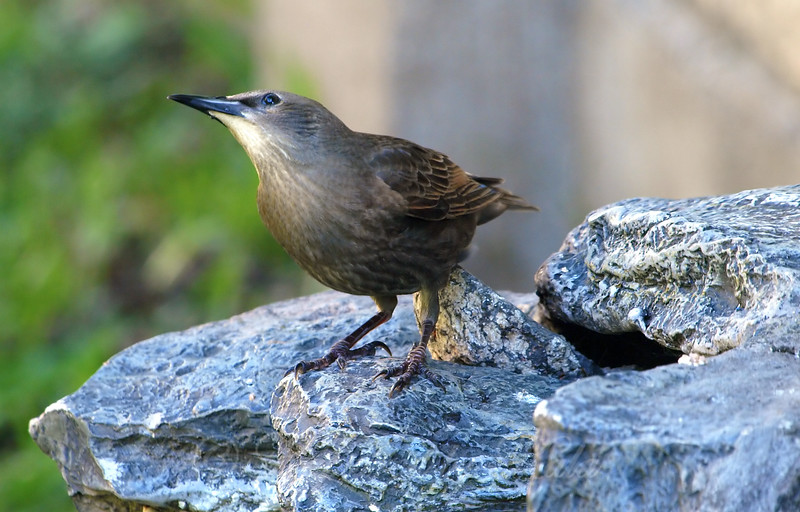 Juvenile Starling Keeping An Eye On The Sky