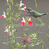 Archilochus colubris – Ruby throated hummingbird on Salvia 'Hot Lips' 3