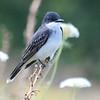 Eastern Kingbird On A Dry Yucca Stalk
