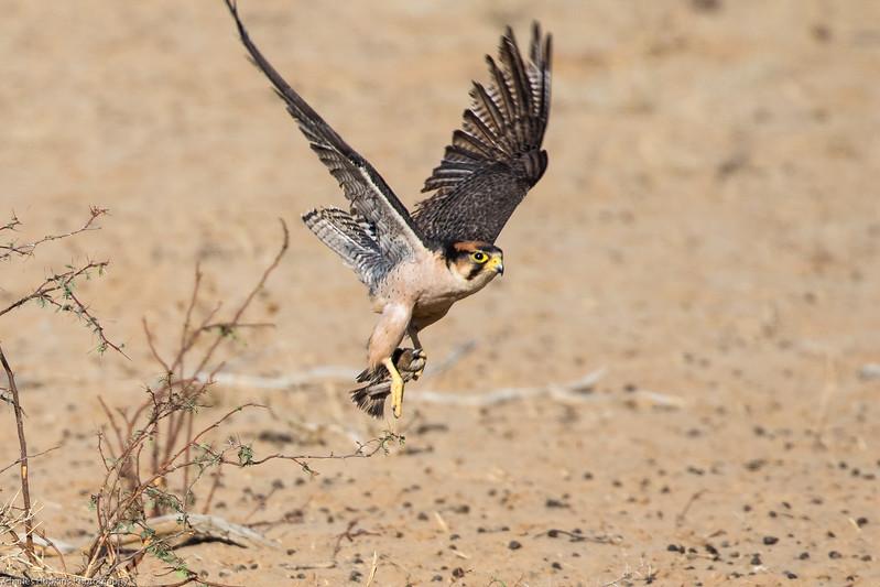 Lanner Falcon that has caught a Cape Sparrow