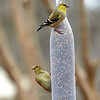 This Has Been a Good Year for Goldfinches