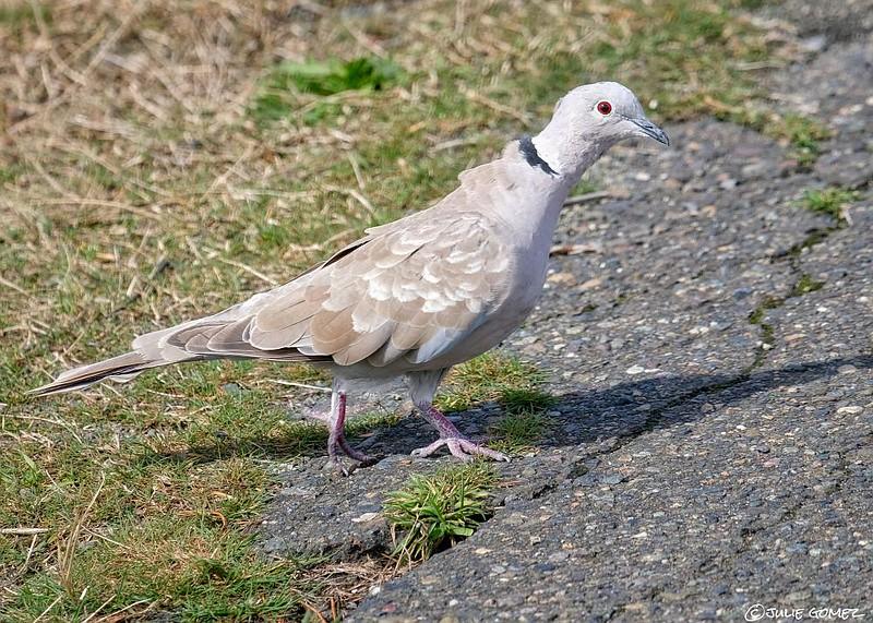 Eurasian Collared Dove—Streptopelia decaocto