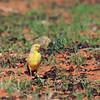 Gibberbird 1