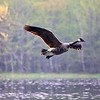 Canadian goose flyby