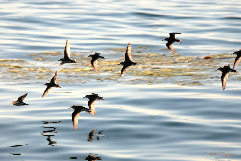 Sand Pipers in Flight