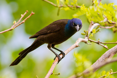 Yes. And what do YOU want?? Common Grackle.