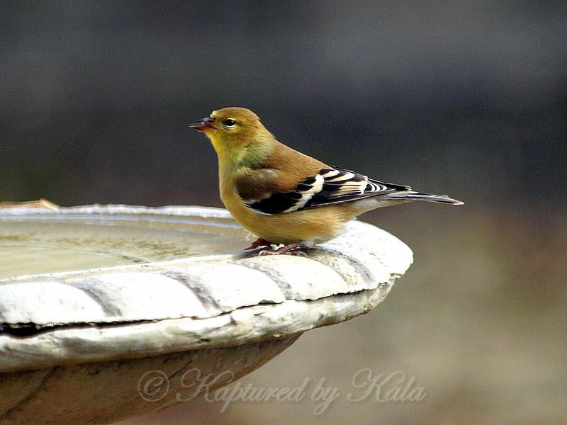 American Goldfinchs  Appreciate Birdbaths