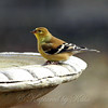 American Goldfinchs  Appreciate Birdbaths