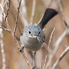 Mama California Gnatcatcher bringing food to the nestlings.