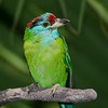 Blue-throated Barbet, Hong Kong.