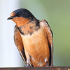 My Favorite Barn Swallow