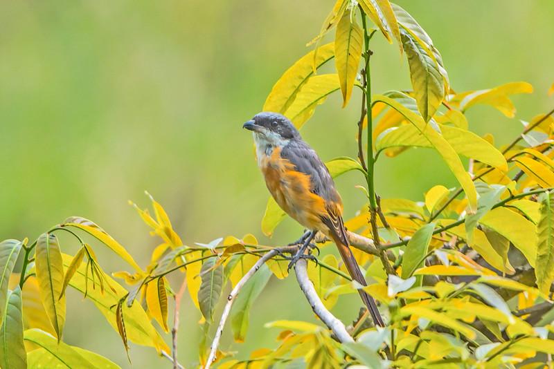 Shrike in the bush