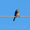 Female Eastern Bluebird View 1