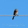 Female Eastern Bluebird View 1