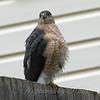 Windy Day Hawk 3