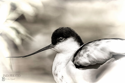 avocet profile