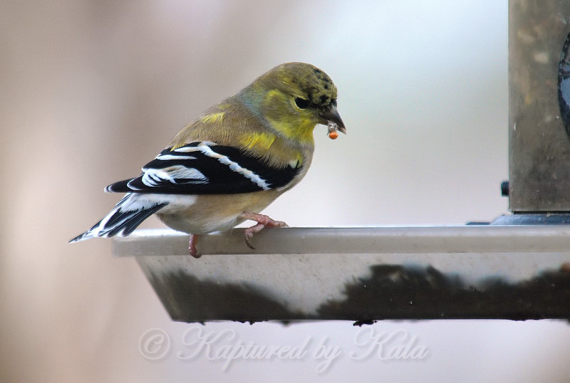 Goldfinch Molt