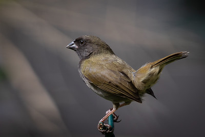 Black Faced Grassquit