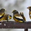 Male Grosbeaks