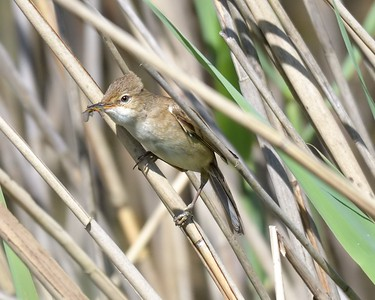 Reed Warbler at Otmoor 26th May 2017 - Acrocephalus scirpaceus 1