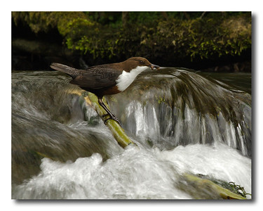Dipper with caddis