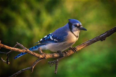 An old shot of a Blue Jay in our backyard at sunrise.  Trying out some new software to edit RAW files.