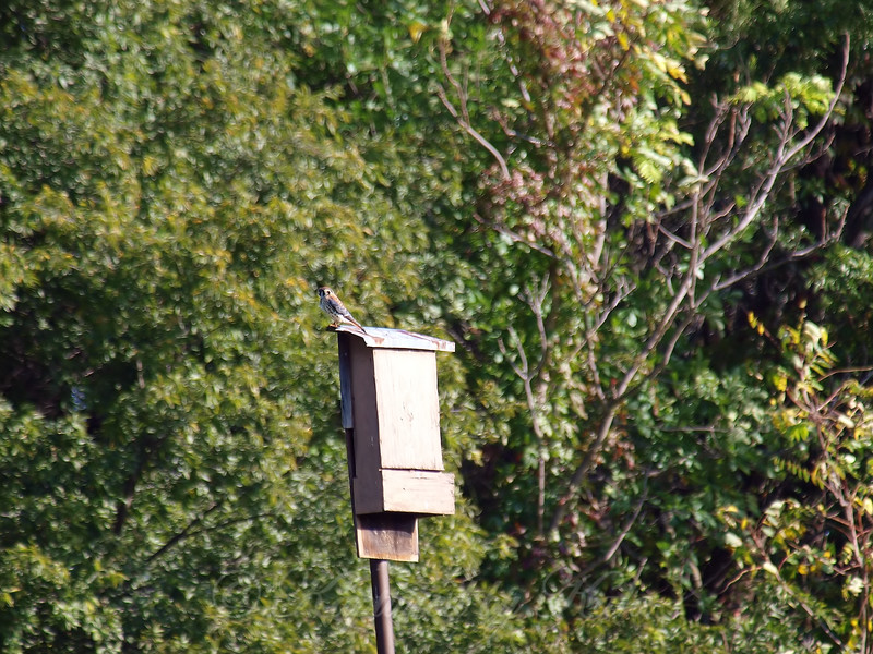 Kestrel On The Bat House