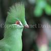 Tauraco persa – Guinea turaco 1