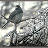 Junco On Ice