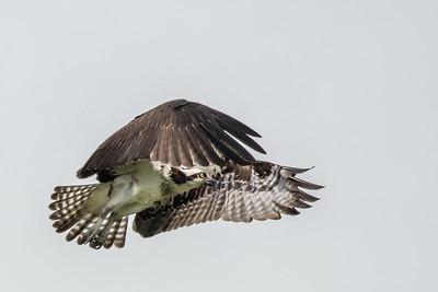 Osprey5