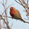 Male House Finch #2 View 1