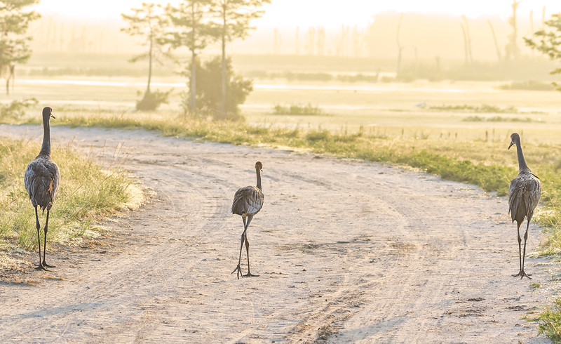 Sandhill crane morning stroll