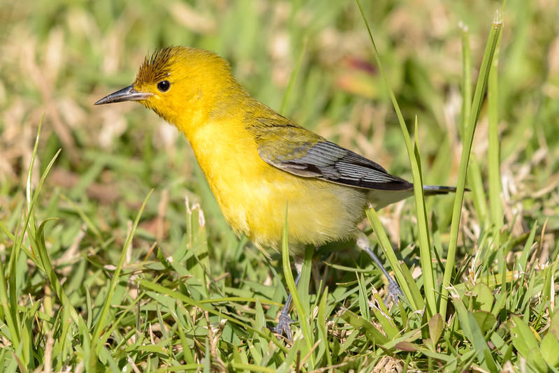 Prothonotary Warbler Hunting