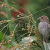 Passer domesticus – House sparrow 4