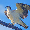 Osprey  prepares to take flight.
