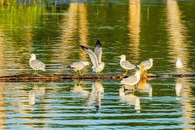 Ringbilled Gull, Larus delawarensis