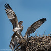 Mother Osprey Pushes Her Young One Out of the Nest