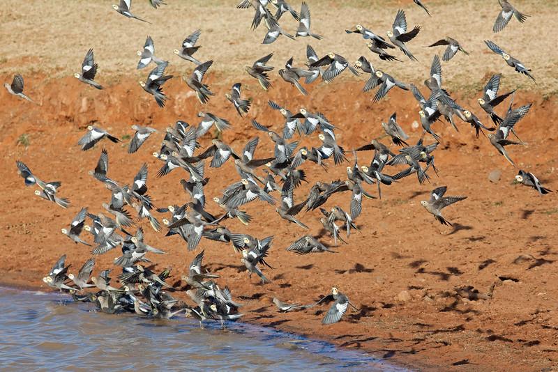 Cockatiel flock take-off 1