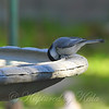 Chickadee At My Birdbath View 1