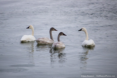 Swans on East Bay