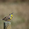 Singing Western Meadowlark - Manitoba