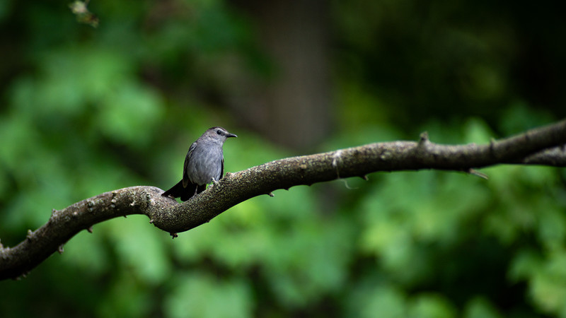 Grey Catbird in Purdue's Horticulture Park