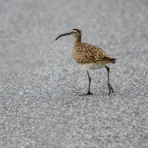 Whimbrel Walking