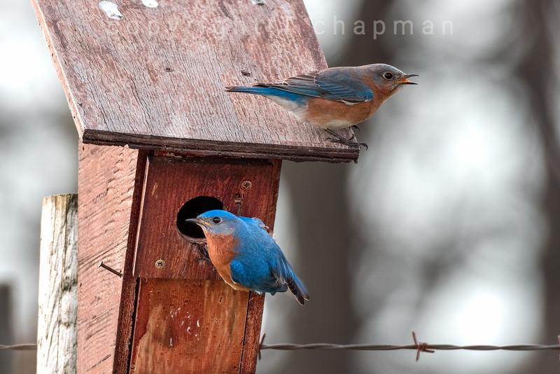 Bluebirds on house