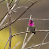 Tiny gem - Anna's Hummingbird