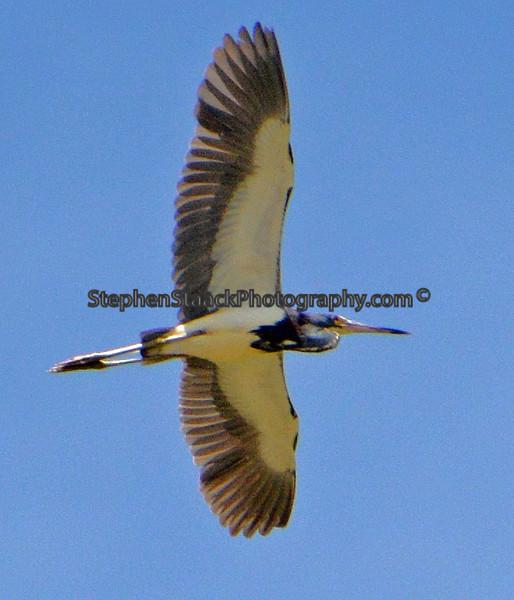 Tri-colored Heron in flight.