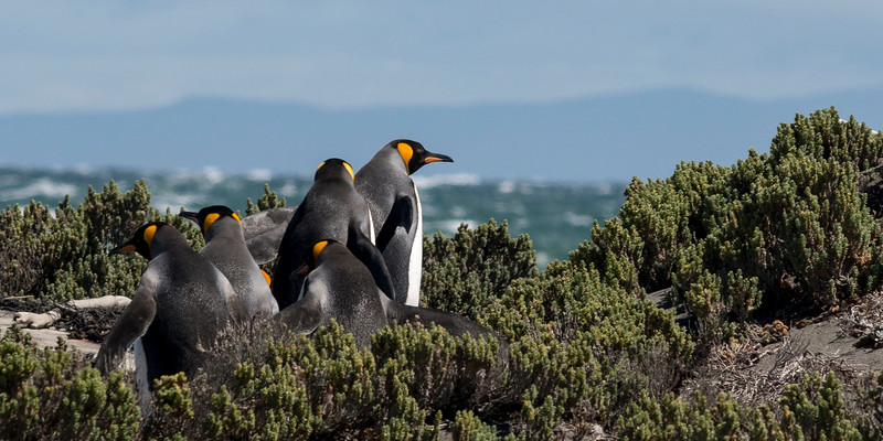 King Penguins Up for a Swim #1