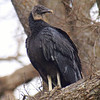 My First Black Vulture