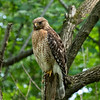 Red Shouldered Hawk, Maryland 2020