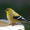 Goldfinch Close Up View 1